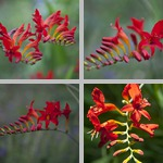 Crocosmias photographs