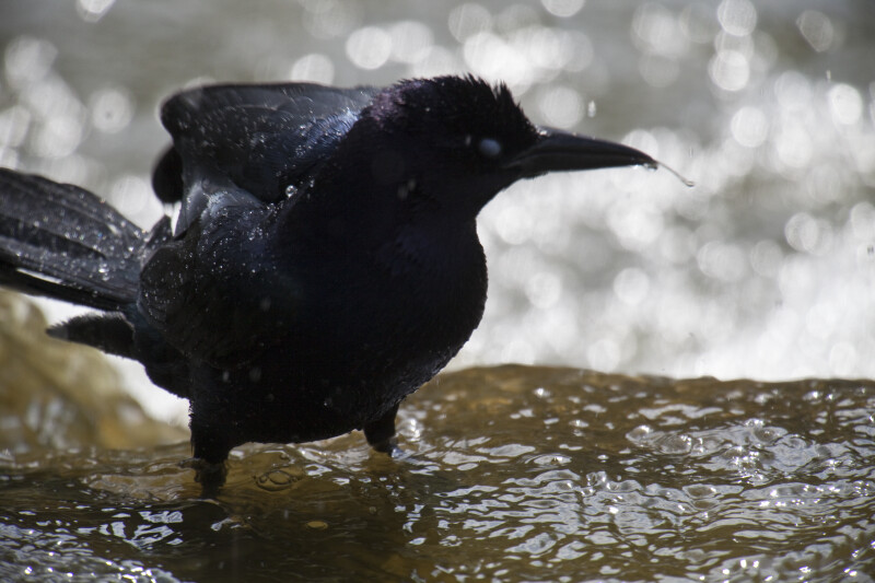 Crow Bathing