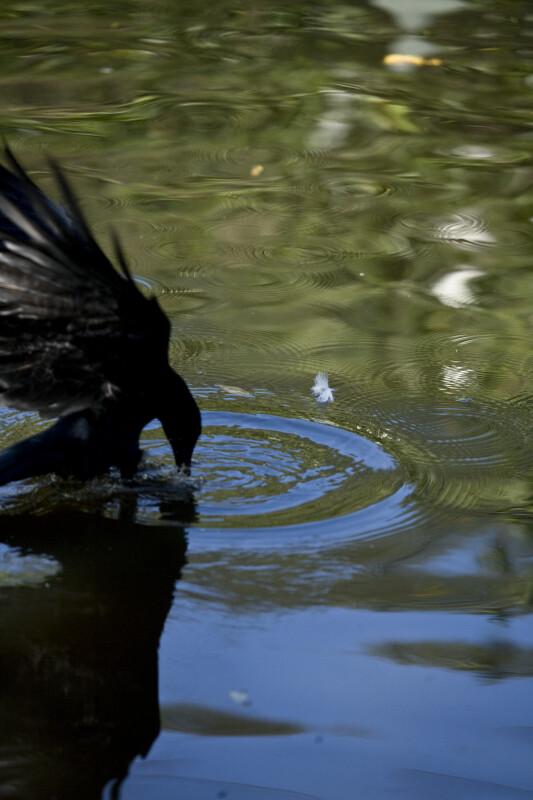 Crow Grabbing Food
