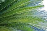 Crowded Sago Palm Leaflets