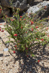 Crown-of-Thorns Shrub