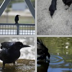 Crows photographs