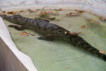 Cuban Crocodile in Water