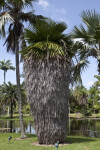 Cuban Petticoat Palm
