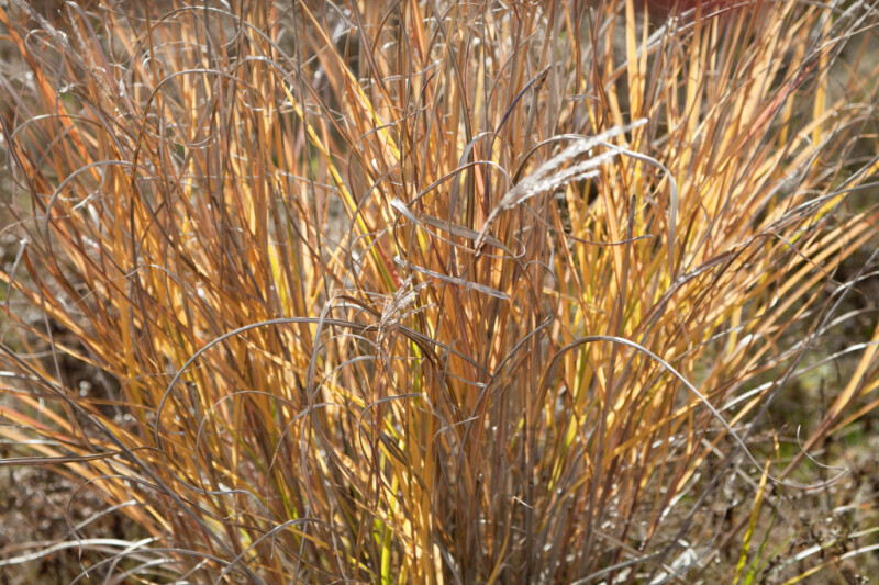 Curly Brown and Golden Leaves of Grass