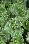 Curvy, Green Parsley Leopard Plant Leaves