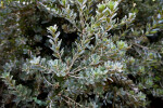 Cut-Leaf Banksia Branches