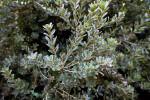 Cut-Leaf Banksia Branches