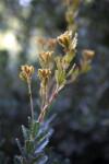 Cut-Leaf Banksia Leaves