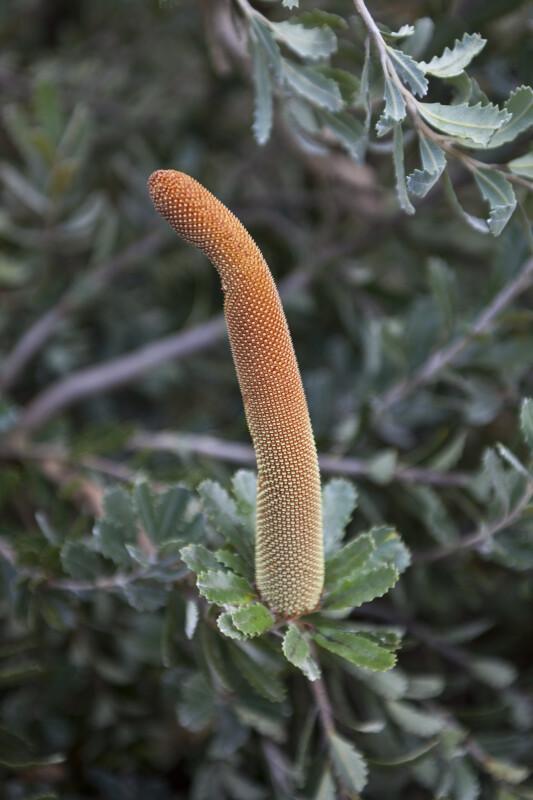 Cut-Leaf Banksia Orange Flower
