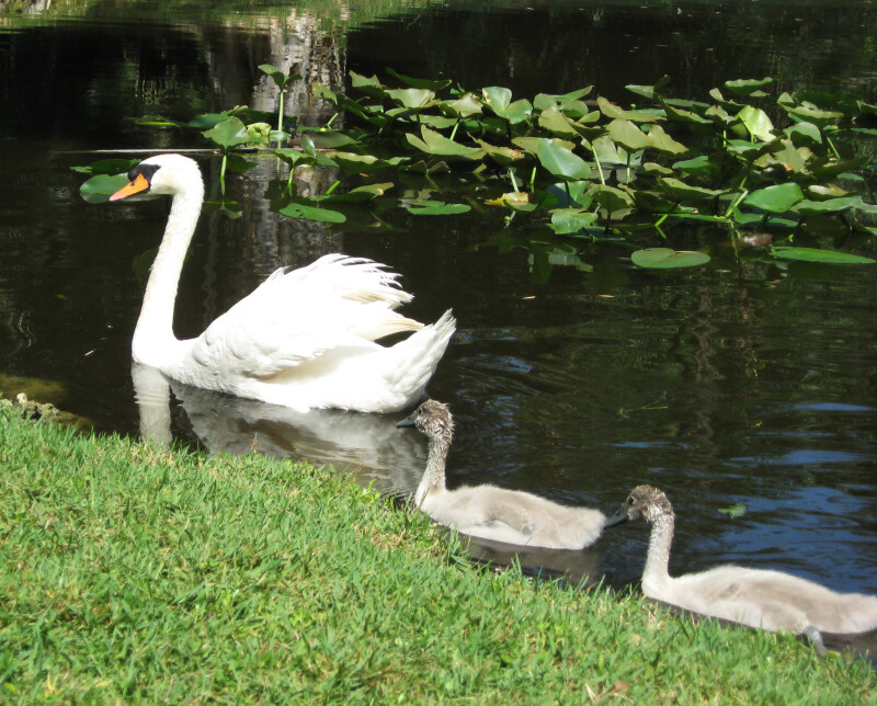 Cygnets Following Swan