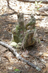 Cypress Knee with Moss