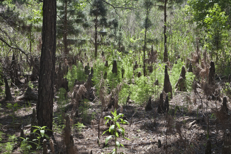 Cypress Knees and Pine Trees at the Edge of May's Prairie