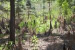 Cypress Knees and Vegetation