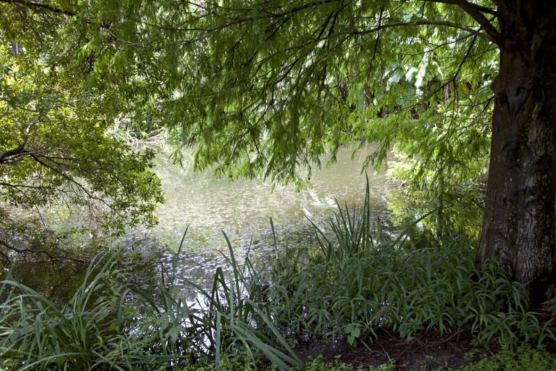 Cypress Tree and Grasses near a Pond at the Kanapaha Botanical Gardens