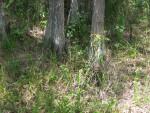 Cypress Tree Bases