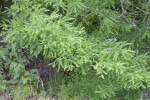 Cypress Tree Branch and Evergreen Leaves