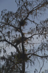 Cypress Tree Covered in Air Plants