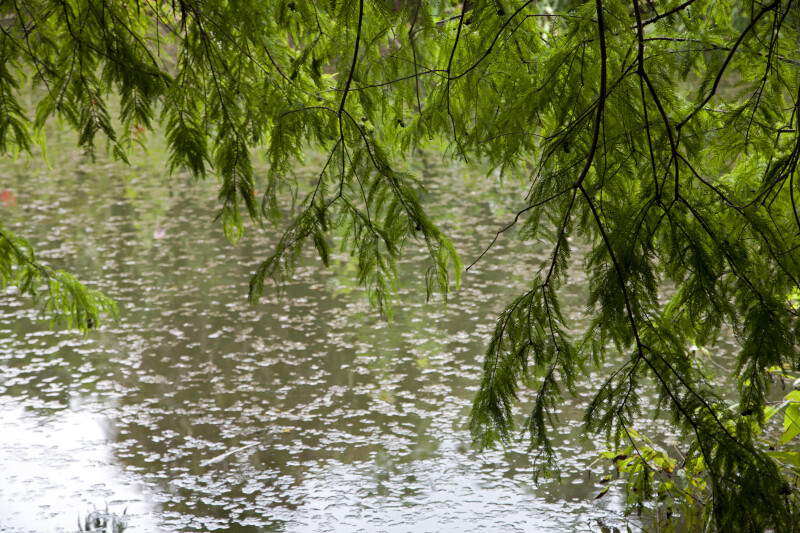 Cypress Tree Leaves Hanging over a Pond at the Kanapaha Botanical Gardens