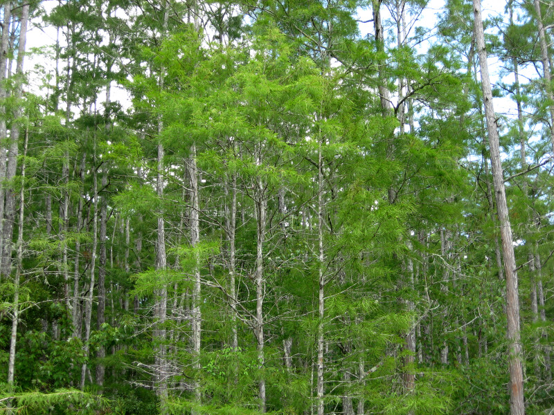 Cypress Trees at Corkscrew