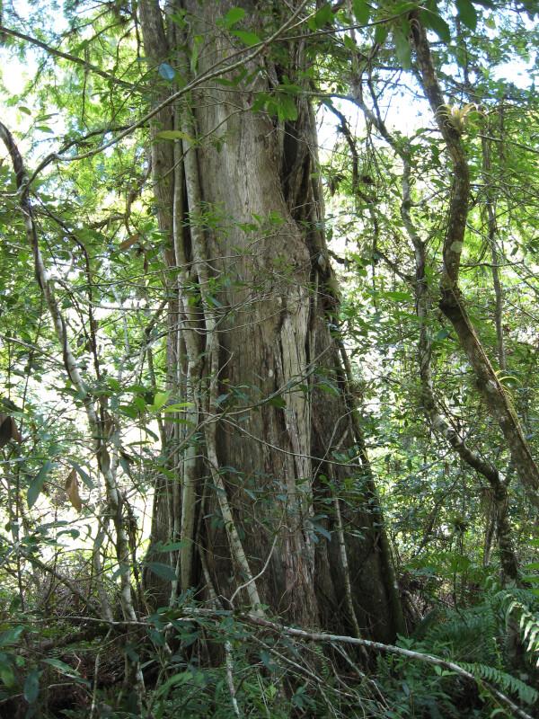 Cypress with Strangler Fig