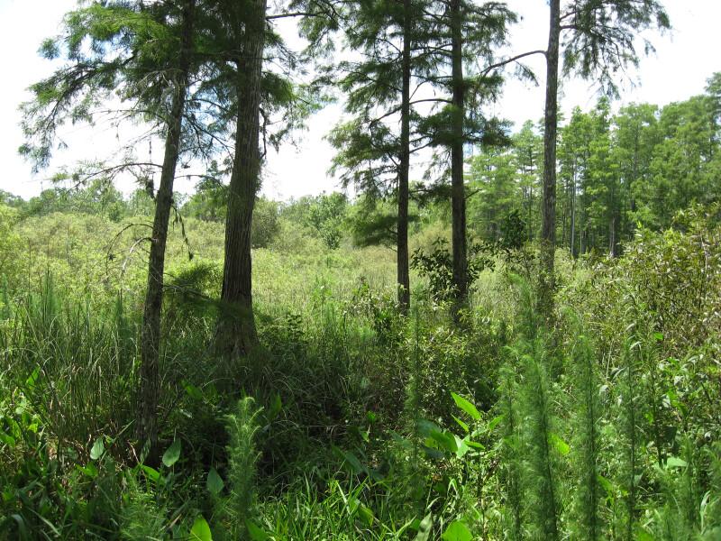 Cypresses at Wet Prairie