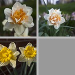 Daffodils photographs