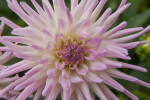 Dahlia Flower Close Up