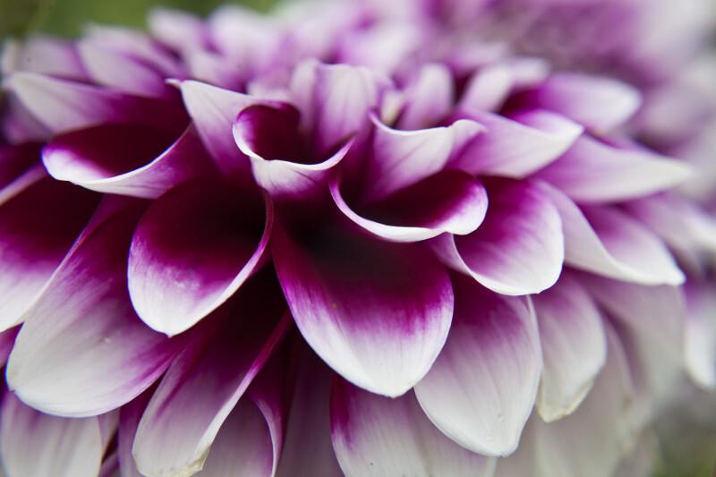Dahlia Flower Curved Petals