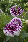 Dahlia-hybride Flowers