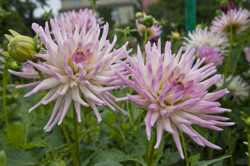 Dahlia Munich-Nymphenburg