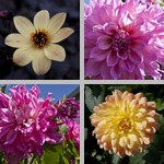 Dahlias photographs