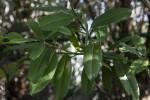 Dahoon Holly Leaves