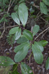 Dahoon Holly Leaves