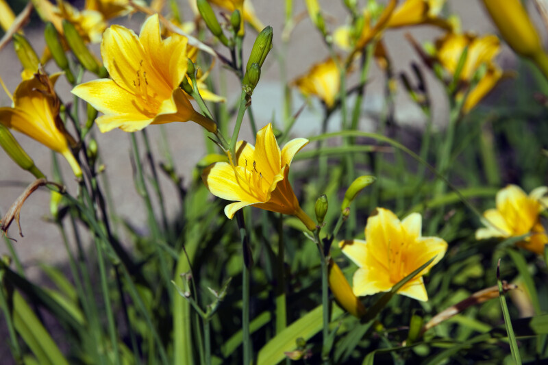 """Daily Bread"" Daylily"