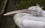 Dalmatian Pelican from Above