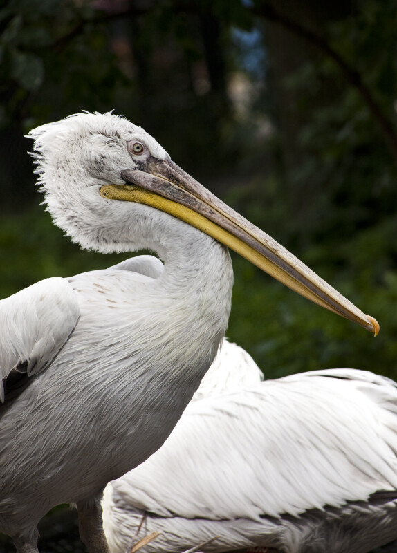Dalmatian Pelican from Side