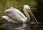 Dalmatian Pelican with Fish