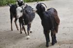 Damara Goats (Capra aegagrus hircus)