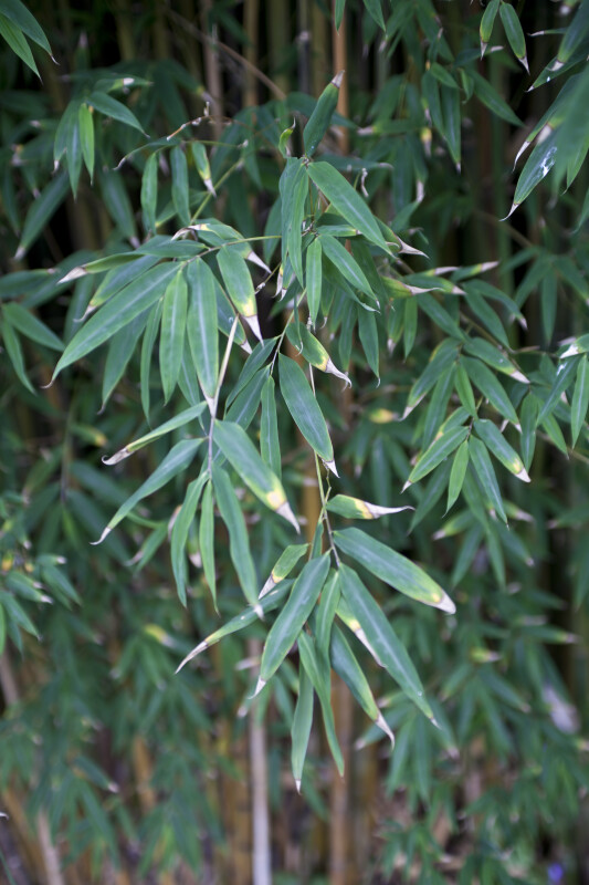 """Damarapa"" Candy Cane Bamboo Leaves"