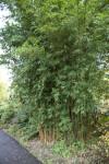 """""""Damarapa"""" Candy Cane Bamboo"""