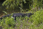 Dark American Alligator Lying in Grass
