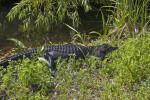 Dark American Alligator Lying in Grass
