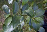 Dark Green, Shiny Meyer Lemon Leaves