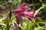 Dark Pink Crinum Lily at the Kanapaha Botanical Gardens