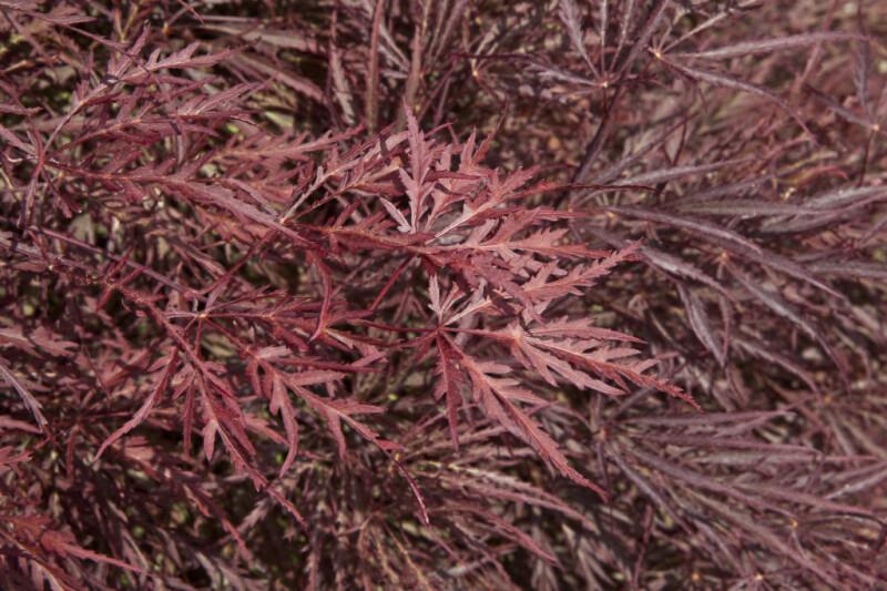 Dark-Red Japanese Maple Leaves