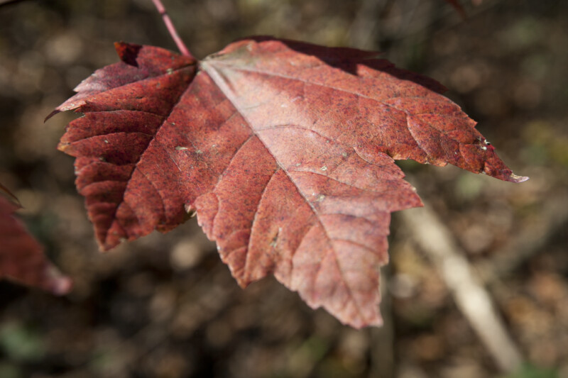 Dark-Red Maple Leaf with Black Spots
