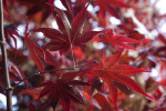 Dark-Red Maple Leaves