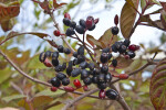 Dark, Shiny Berries