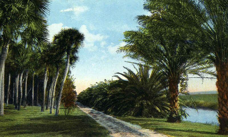 Date Palms on Daytona and Ormond Drive